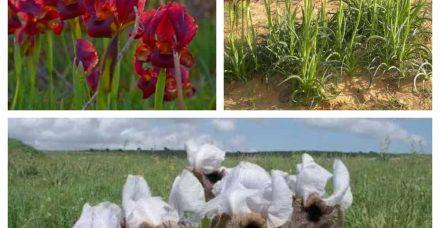 אביב של אירוסים: הגלימה הססגונית של הטבע